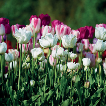 marthas flowers tulips