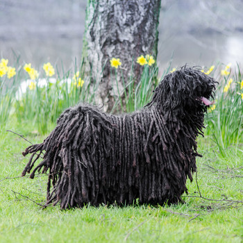 puli unusual dog breed