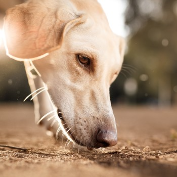 dog sniffing the ground