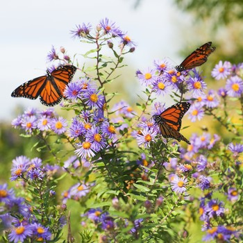 monarch butterflies feeding on blooming aster in a field of wildflowers
