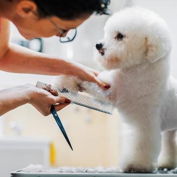 bichon frise dog groomer