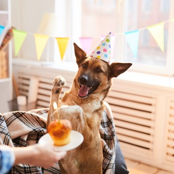 German Shepherd in a birthday hat looking at a cupcake