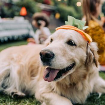 Dog Wearing a Costume Halloween Pumpkin