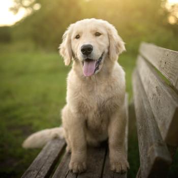 Golden Retriever Puppy Sitting on Park Bench