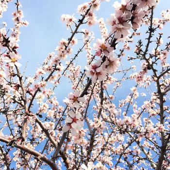 42 burners almond trip tree blossom detail