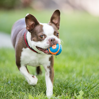 brown and white boston terrier outside holding orange and blue ball