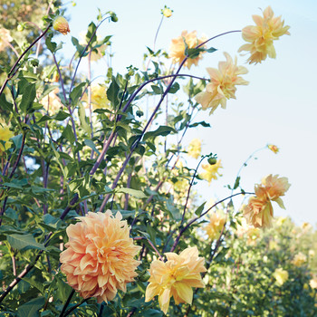 How to Dig Up and Store Your Dahlia Tubers