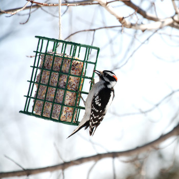 downy woodpecker eating suet cake from a bird feeder