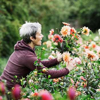 woman cutting dahlias from garden
