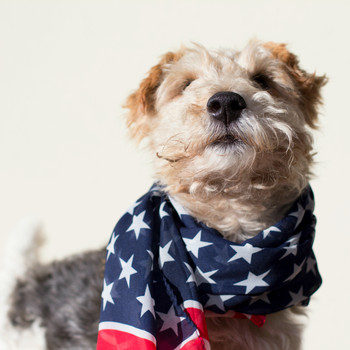 fox terrier wearing American bandana