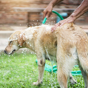 golden retriever getting washed by hose outside