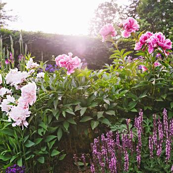 bellefield beatrix garden blooms