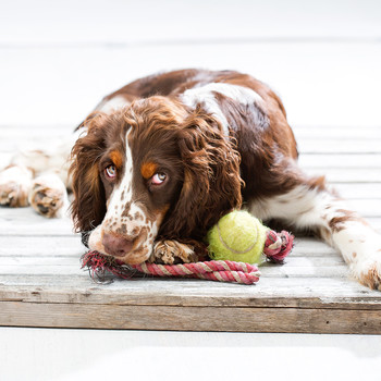 english springer spaniel dog toys