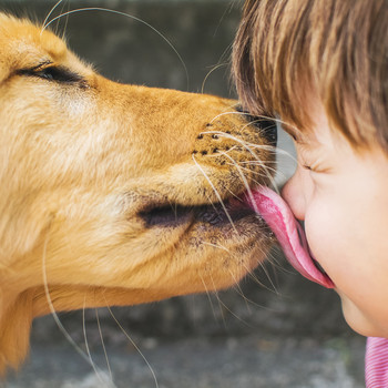 golden retriever dog licking little boys face