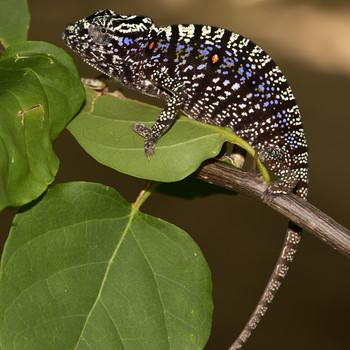 photo of female Voeltzkow's chameleon