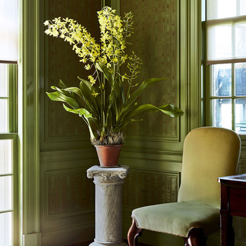 grammatophyllum plant in corner of green living room