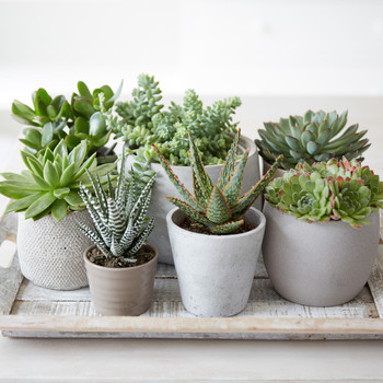 tray of succulent plants in containers