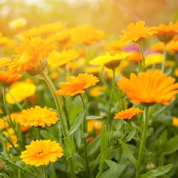 calendula skincare ingredient marigold plant