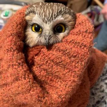 猫头鹰从洛克菲勒中心的圣诞树救出