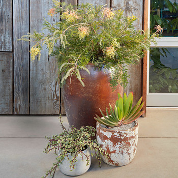 container plants grevillea plicatilis portulacaria afra