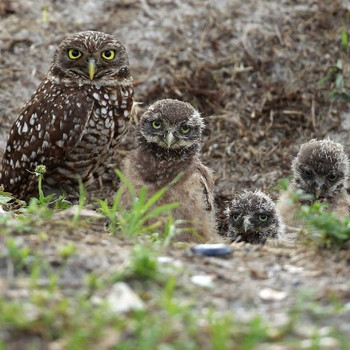 Rare Owls Are Thriving in an Unexpected Spot Near LAX
