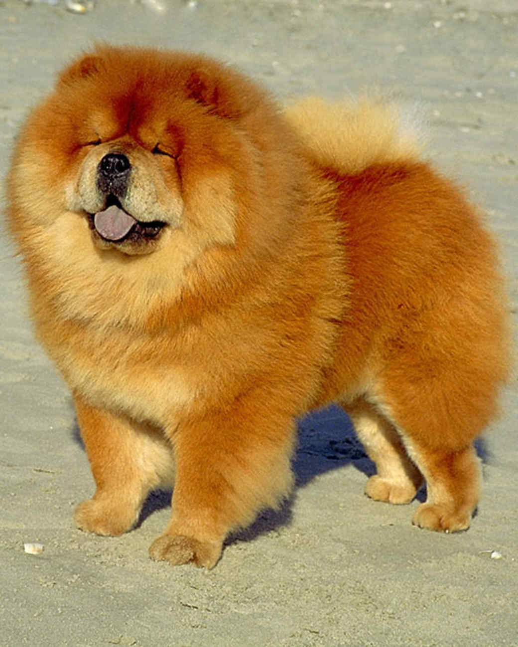 akc_chow_bloom.jpg
