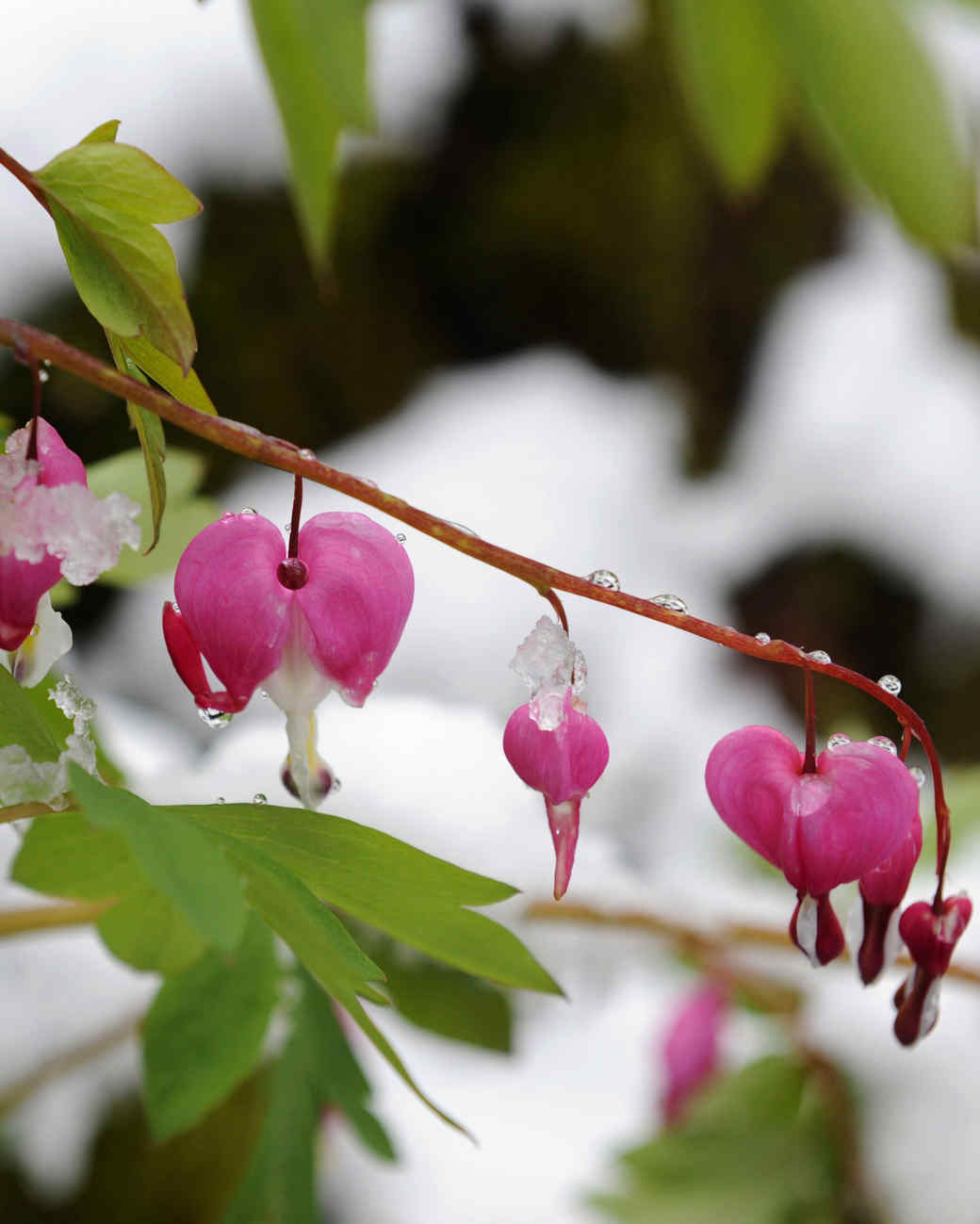 bleeding heart flowers covered in frosty ice