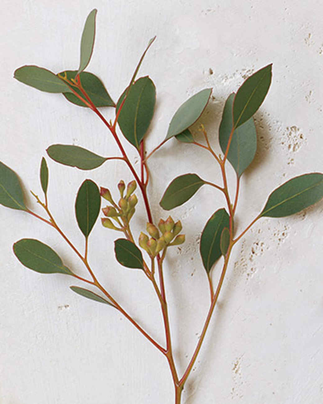 bd_0607_eucalyptus.jpg