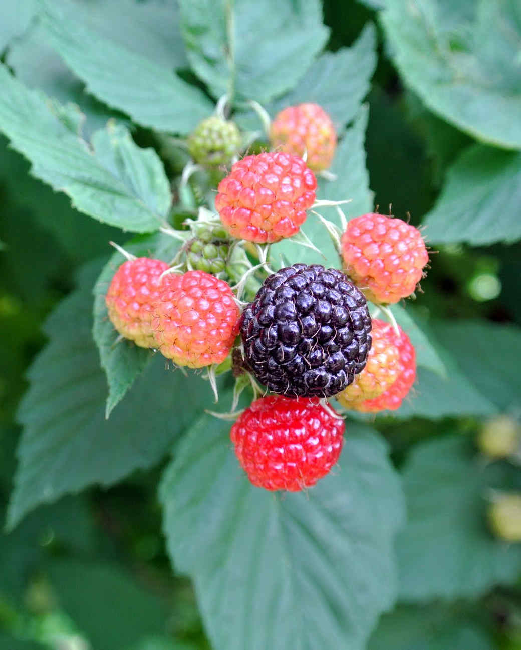 black-rasberries-16.jpg
