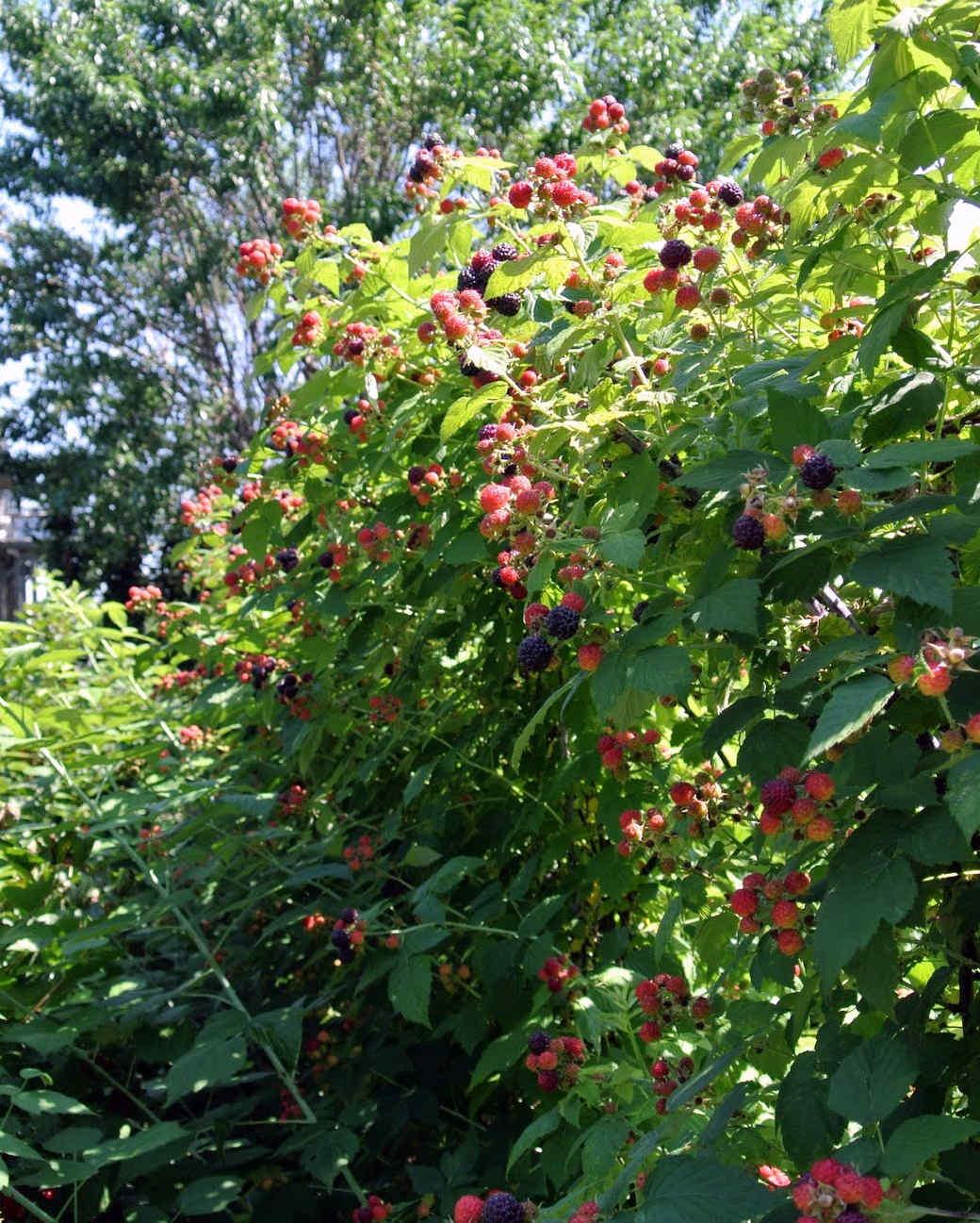 black-raspberries-13.jpg