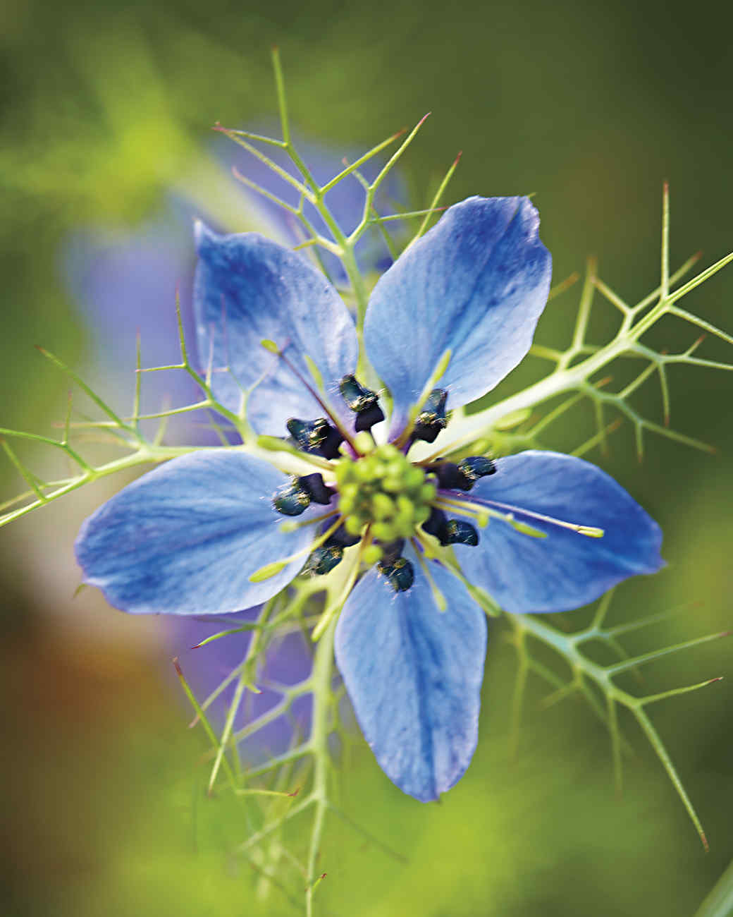 blueflower2-md110341.jpg