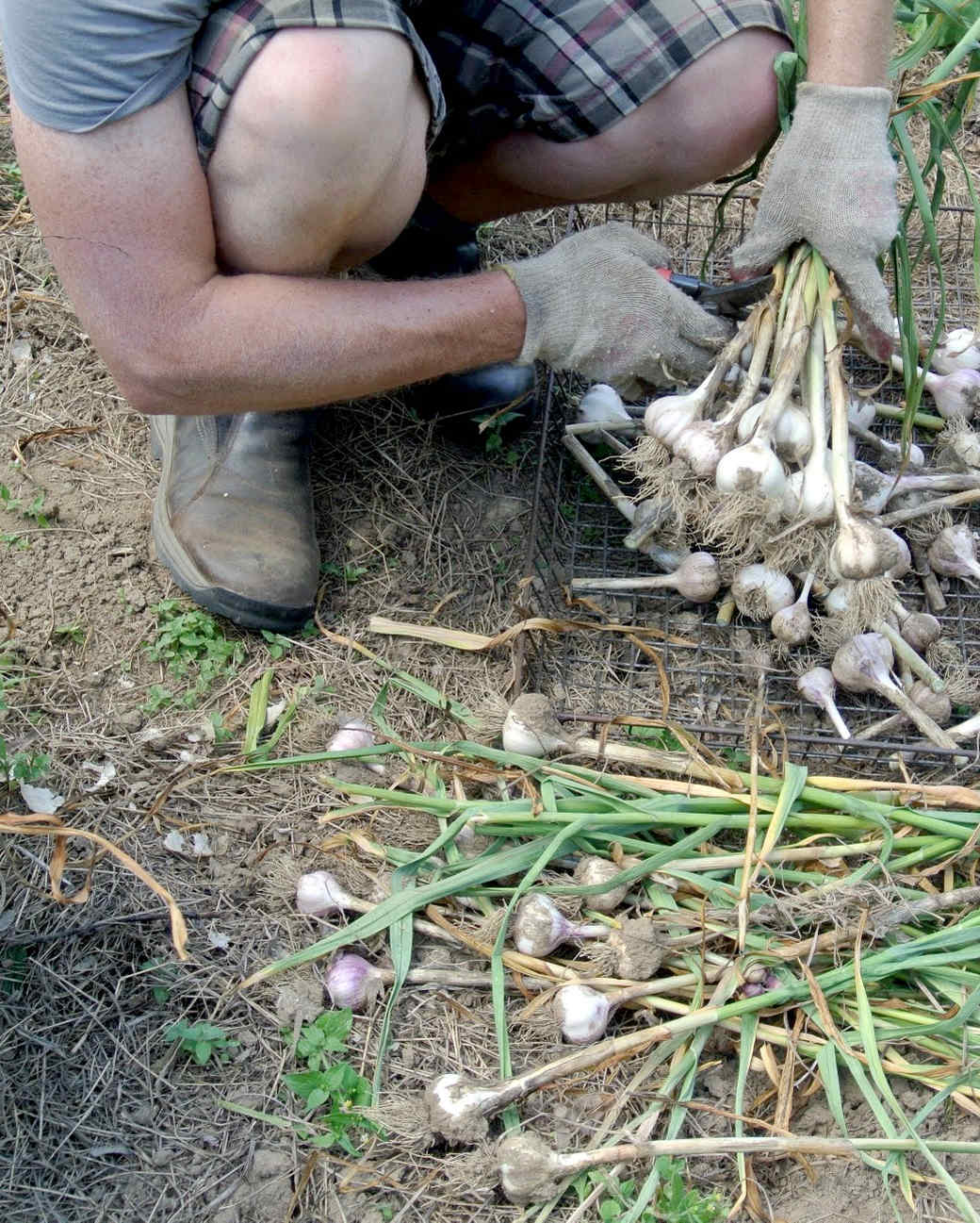 harvesting-garlic-19.jpg