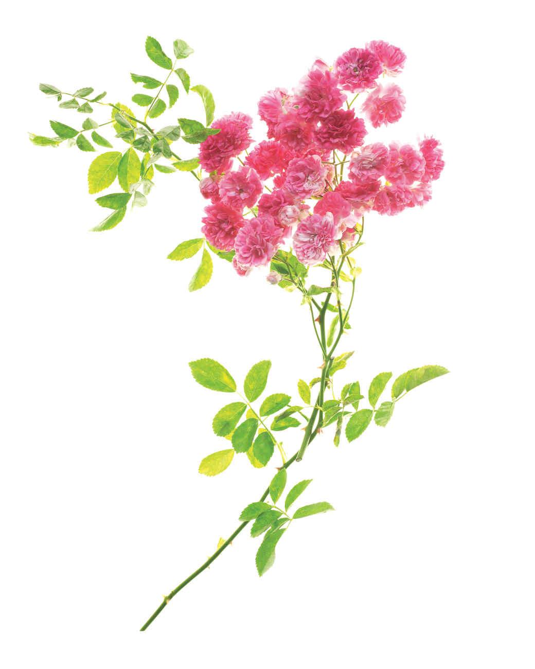 excelsa-rose-ms108508.jpg