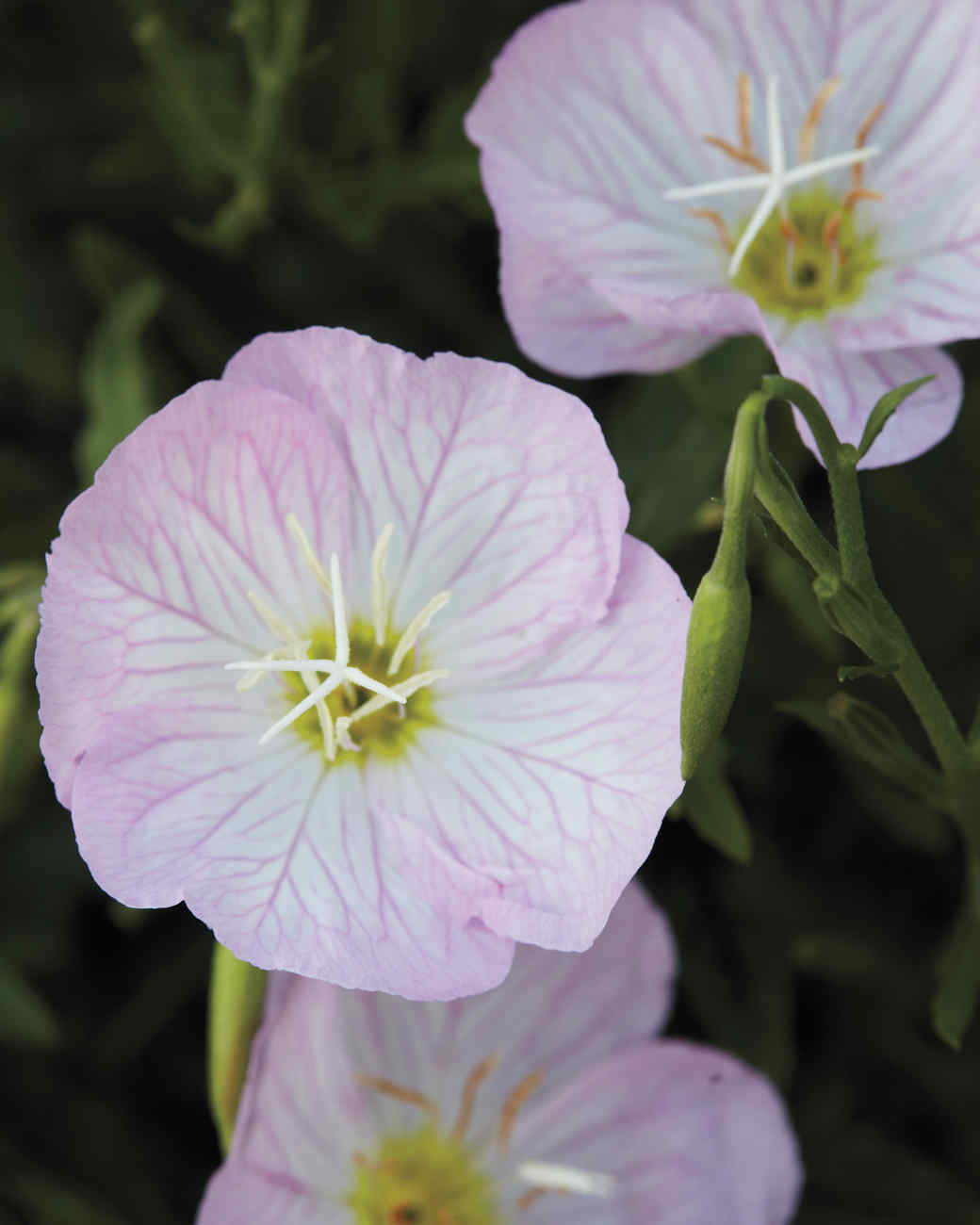 lavenderblue-md110341.jpg