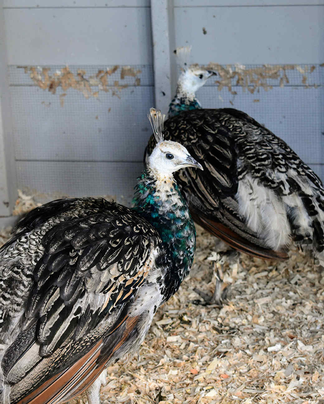peacocks-0219