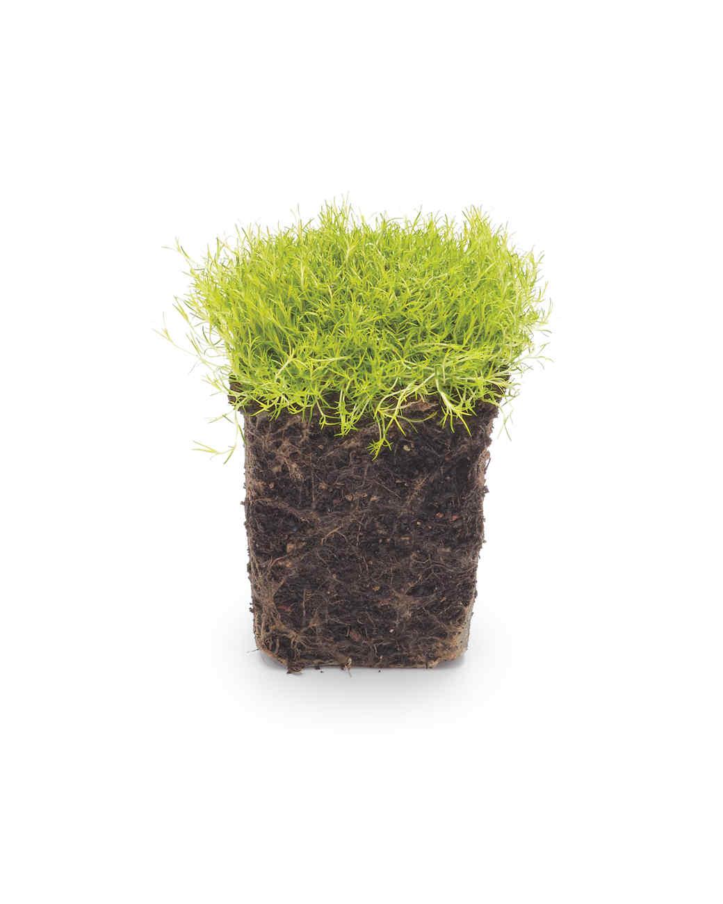 scotch-moss-mld108562.jpg