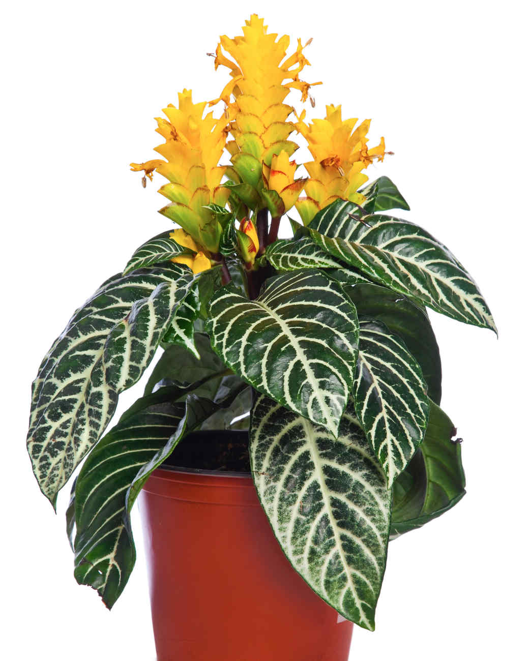 zebra succulent plant with yellow flower