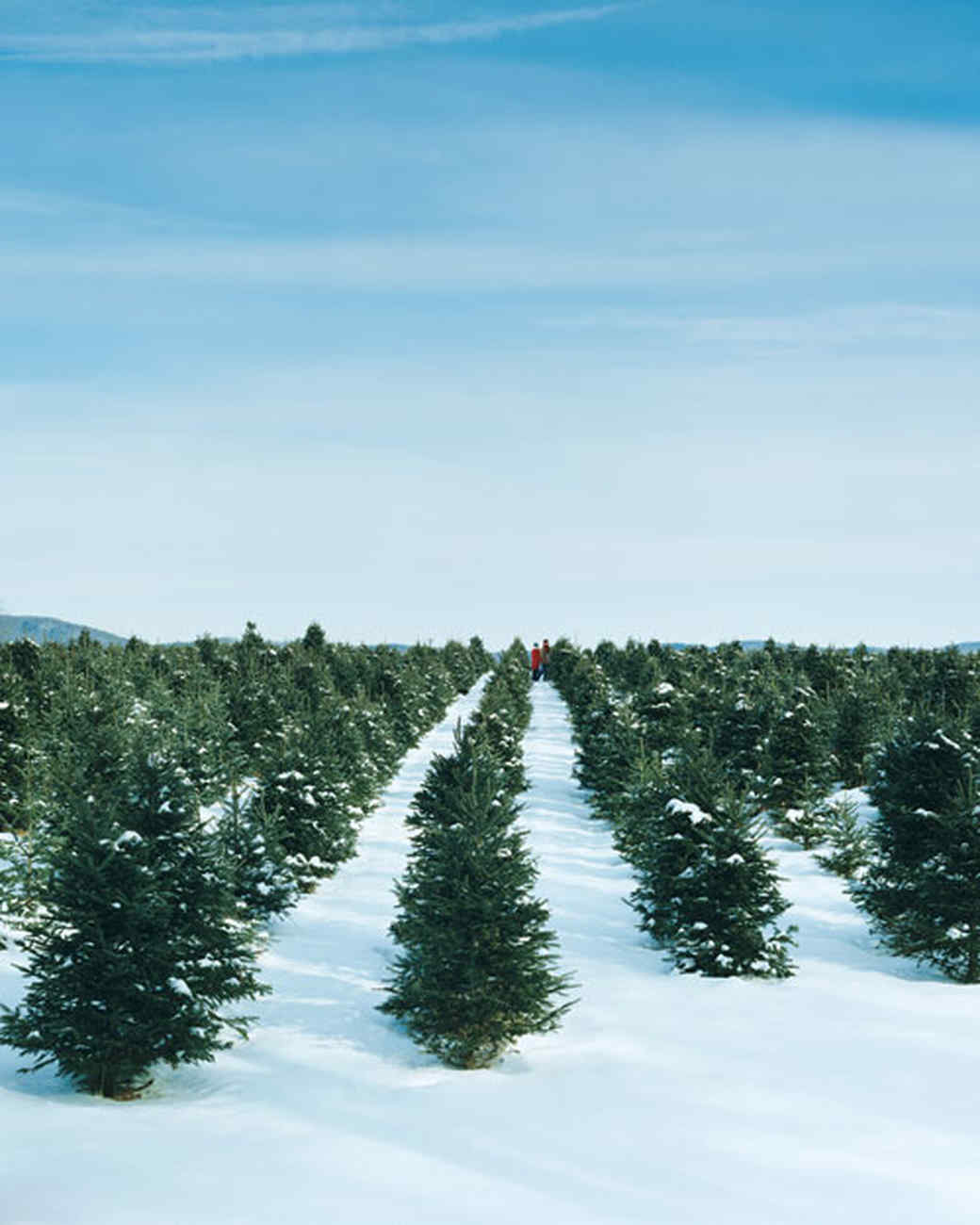 How To Pick Out A Christmas Tree Martha Stewart - Christmas Trees To Cut Down