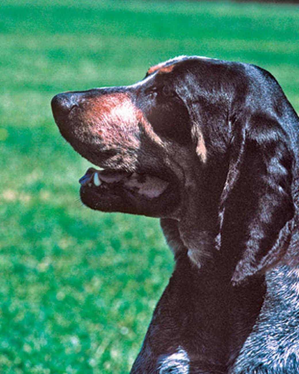 pets_dogs_bluetickcoon.jpg