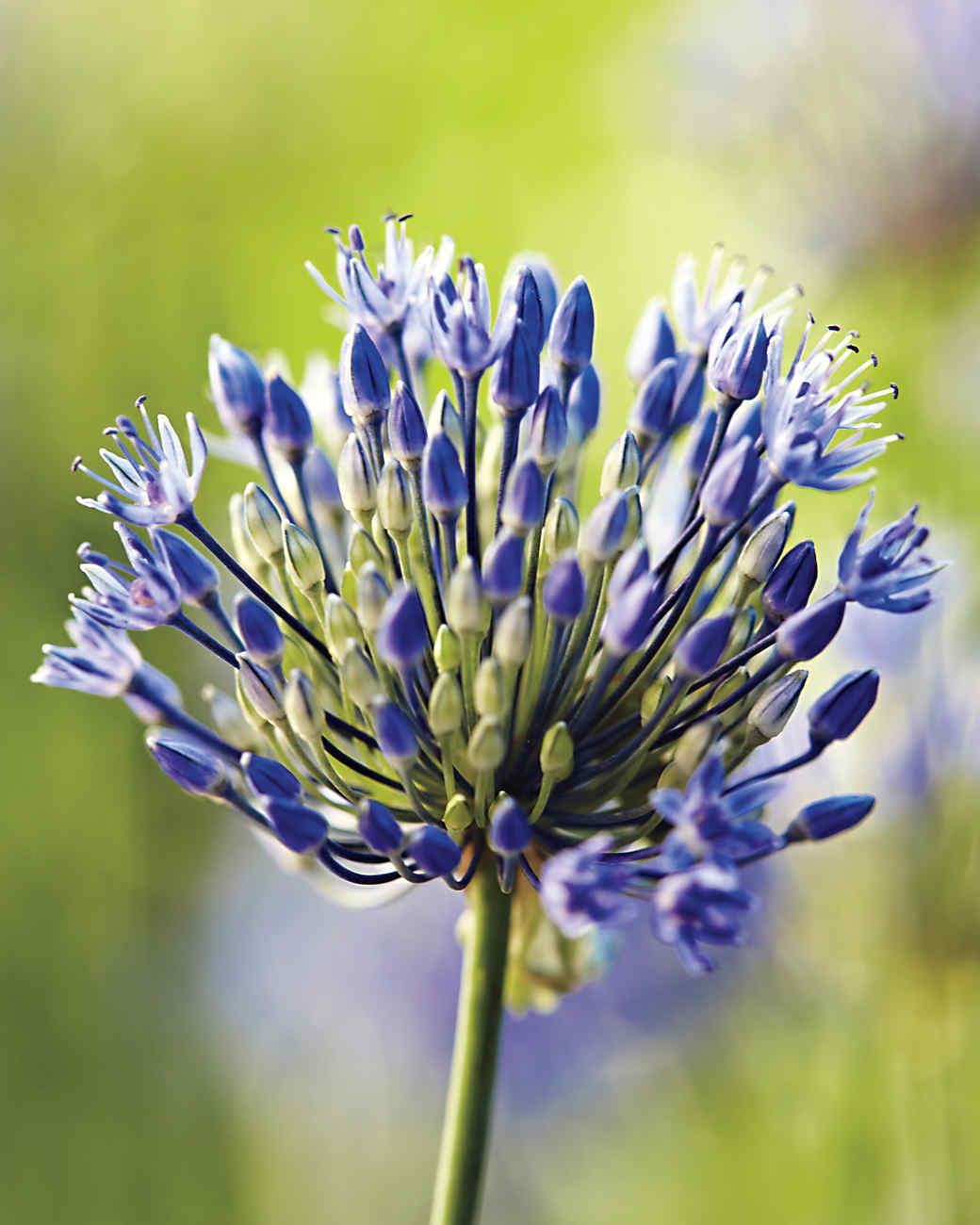 Garden Palette: Blue, Fuchsia, Lavender, & Silver   Martha Stewart