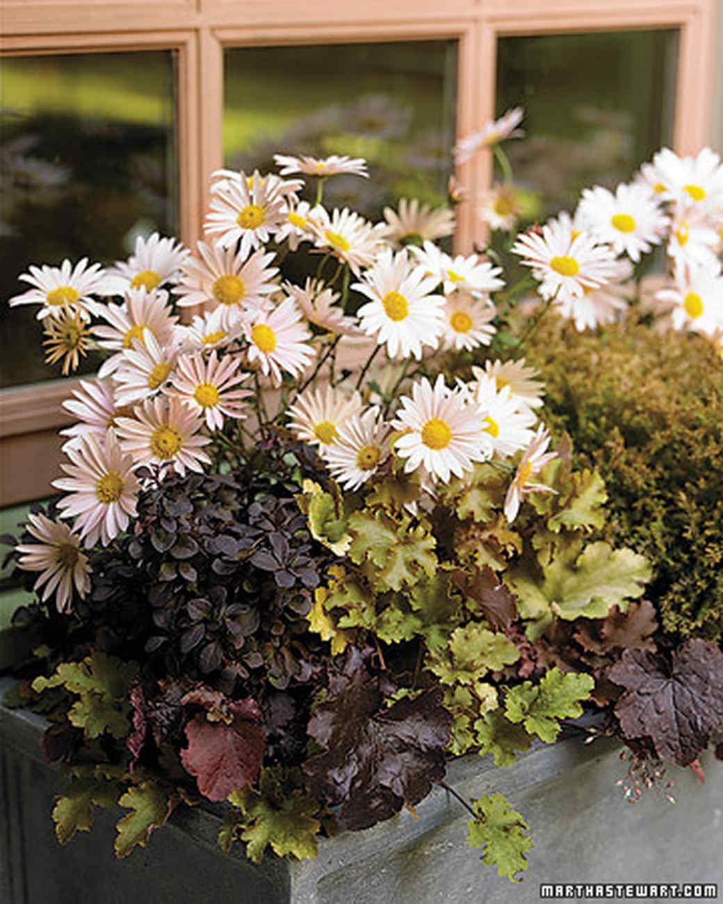 la101943_0906_chrysanth.jpg