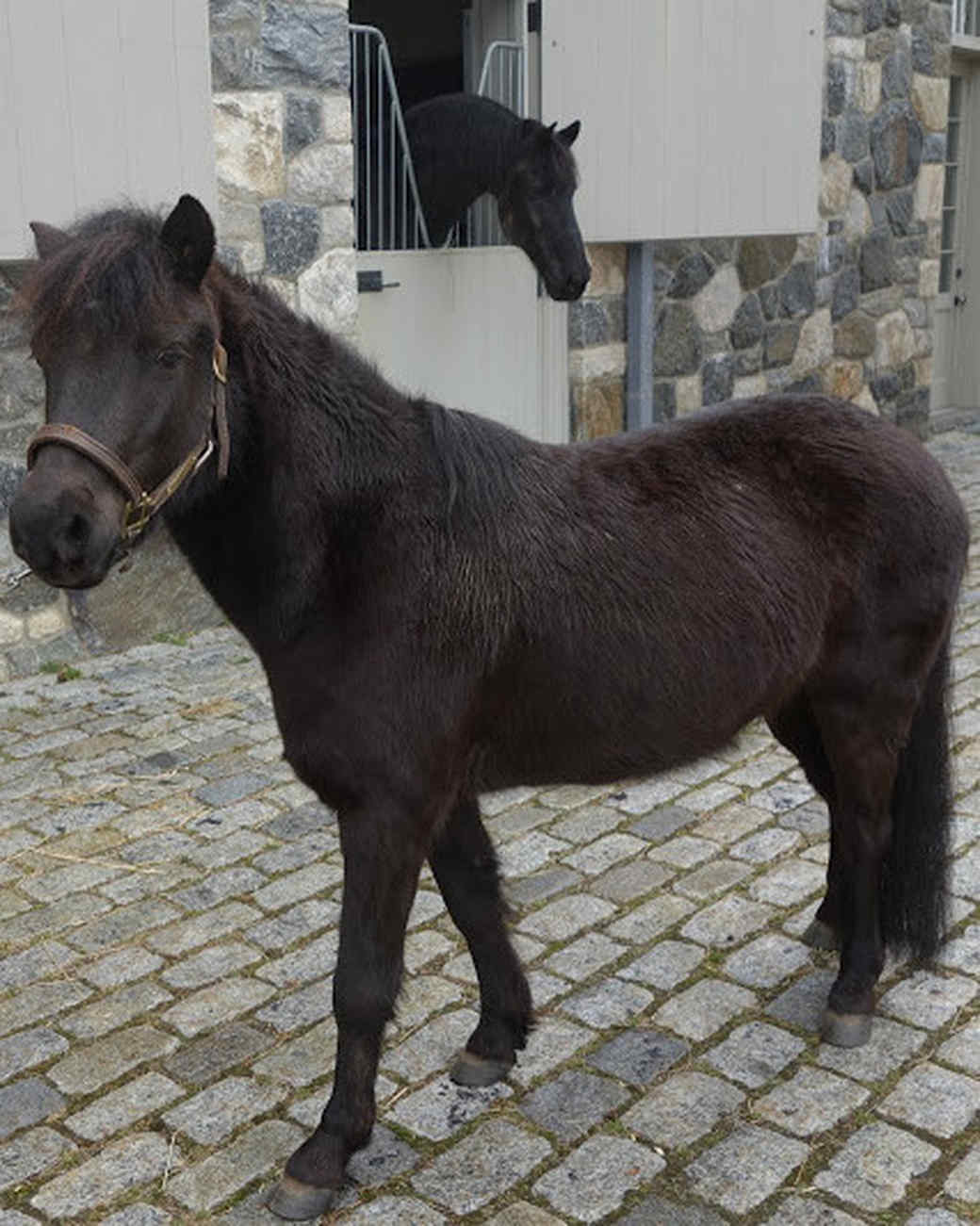 mini horse outside stables