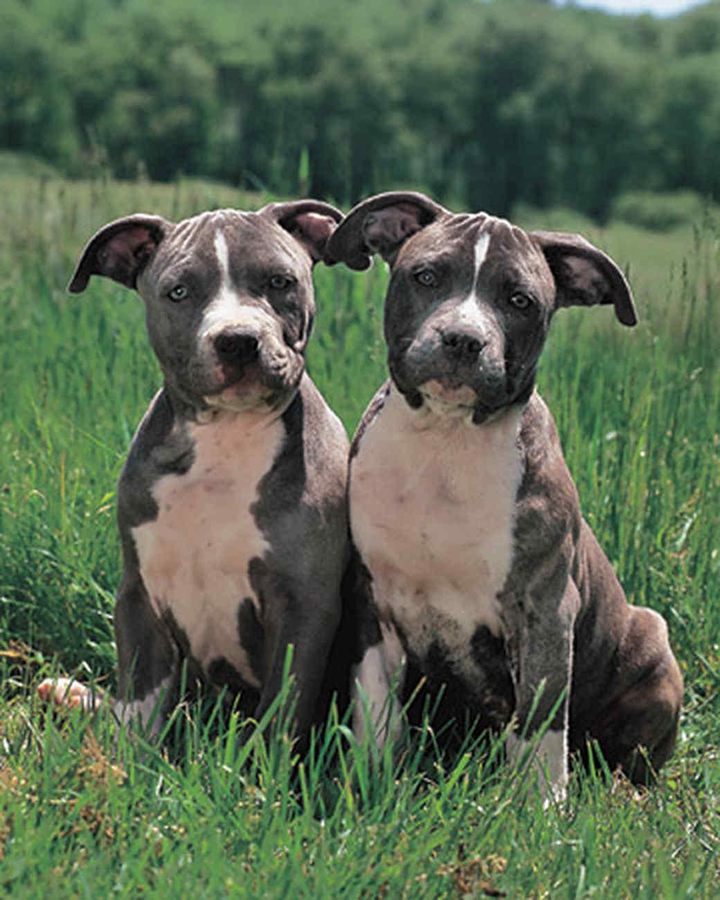 pets_dogs_pitbullterrier.jpg