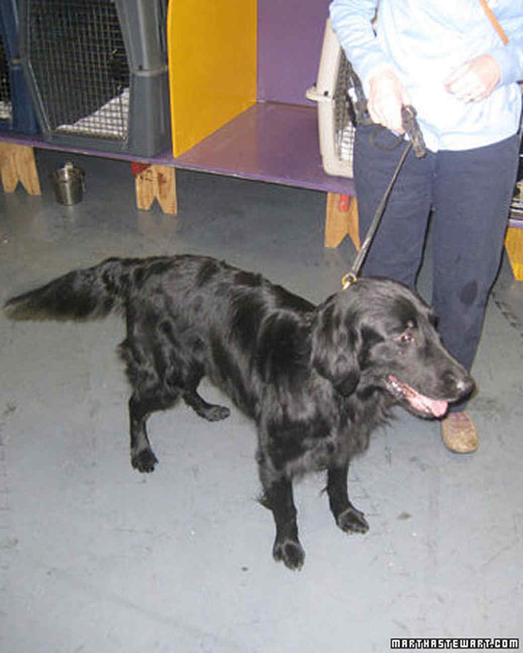 st_flat_coated_retriever.jpg