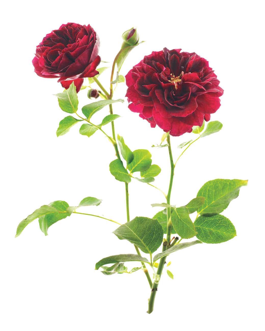 tradescant-rose-ms108508.jpg