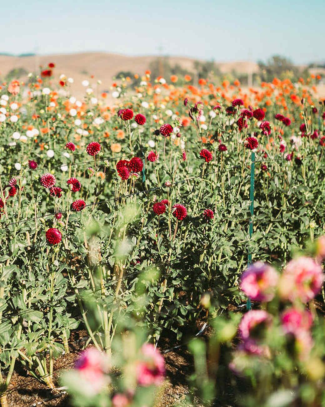 dahlia flower field