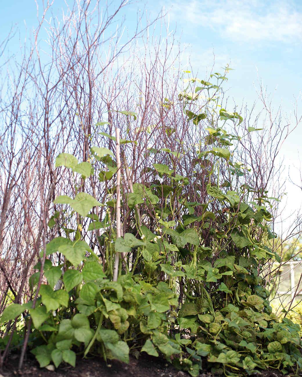 mld 0308 birchbeans vert