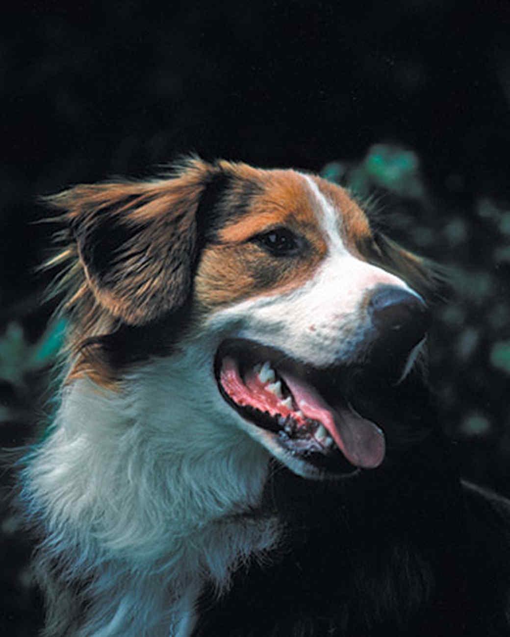 pets_dogs_englishshepherd.jpg