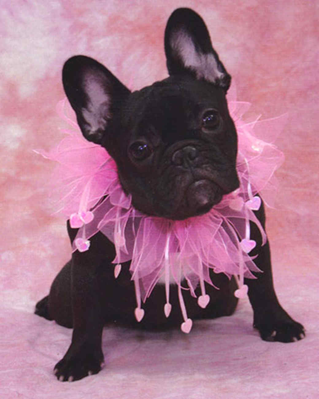 pets_frenchies_ori00084439.jpg