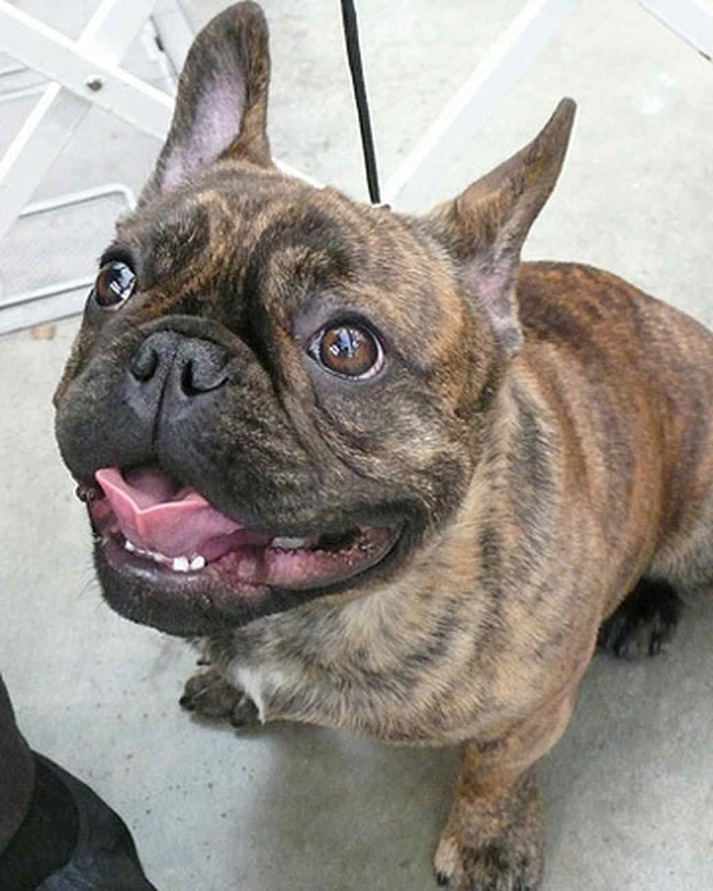pets_frenchies_ori00086903.jpg